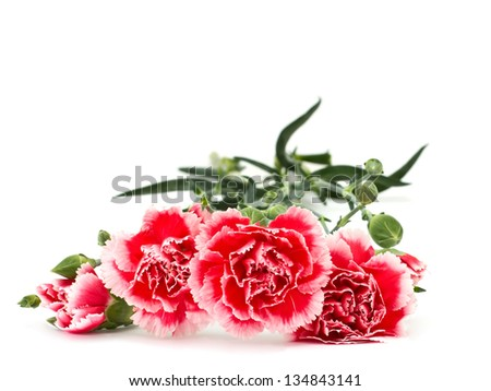 Bunch of fresh pink carnations  isolated on white background. Space for your text. - stock photo