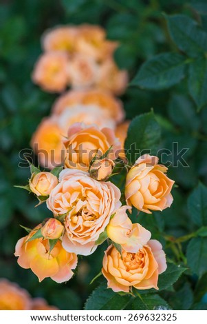 Bunch of fresh pink roses outdoors in the park - stock photo