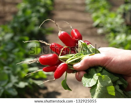 Bunch of fresh radishes from the garden - stock photo