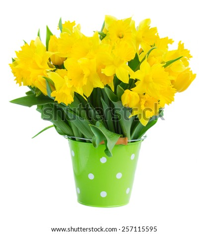 bunch of fresh spring yellow daffodils  and tulips in green pot isolated on white background