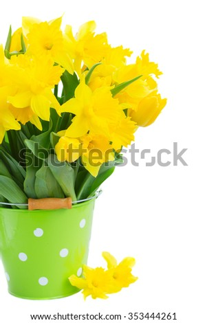 bunch of fresh spring yellow daffodils  and tulips with green leaves in pot  close up isolated on white background
