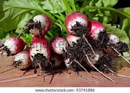 Bunch of Freshly Picked Red & White Organic French Breakfast Garden Radishes Waiting To Have Soil Washed Off Roots