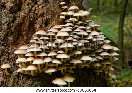 Bunch of fungi grows on oak tree butt - stock photo