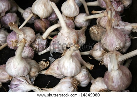 Bunch of Garlic - stock photo