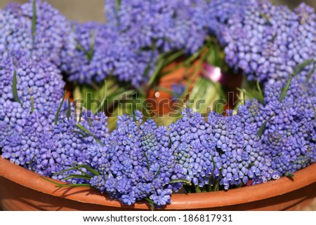 Bunch of Grape hyacinth in vase. - stock photo