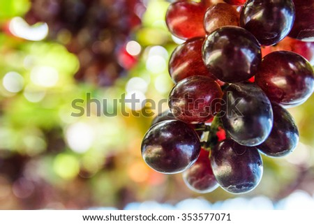 Bunch of grape on grapevine with bokeh in background. - stock photo