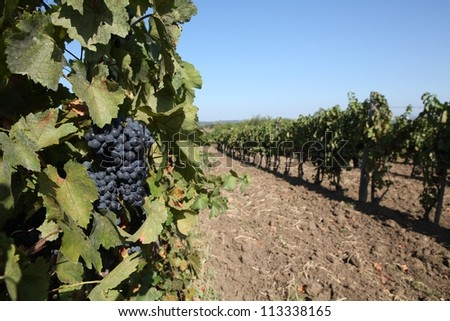 bunch of grapes - stock photo