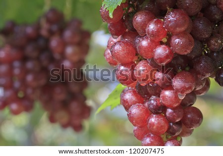 Bunch of  grapes at a grapevine - stock photo