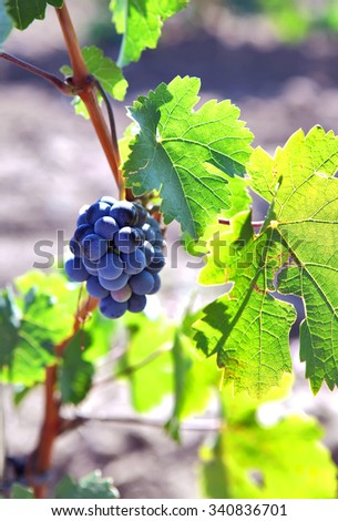 Bunch of grapes growing on the vinebeautiful burgundy Most vine with grapes.Vine - stock photo
