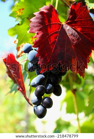 Bunch of grapes hanging on the vine  - stock photo