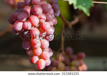 Bunch of grapes hanging on the wine - stock photo