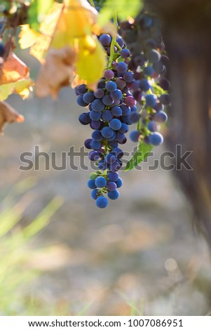 Bunch of grapes in the evening vineyard. Close-up with yellow leaves. Selective focus