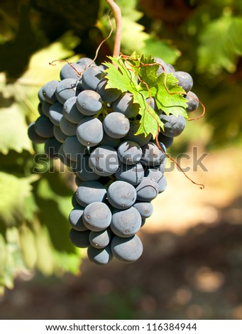 Bunch of grapes on a vine