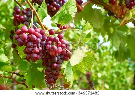 Bunch of grapes on a vine in the sunshine / The winegrowers grapes on a vine / red wine - stock photo