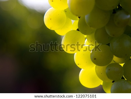 Bunch of grapes on grapevine - stock photo