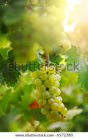 Bunch of grapes on grapevine in vineyard. Shallow DOF. - stock photo