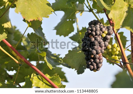 Bunch of grapes on grapevine right before harvest - stock photo