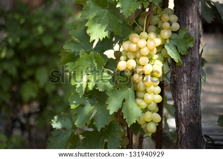 bunch of grapes on the vine with green leaves - stock photo