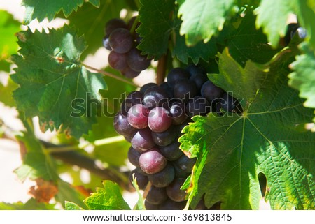 Bunch of grapes on wine estate in Cape Town - stock photo