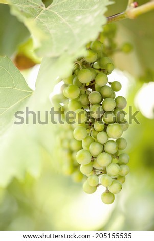 bunch of  grapes  with green leaves - stock photo