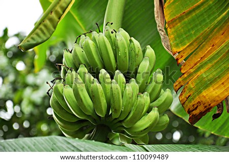 Bunch of green bananas on the tree