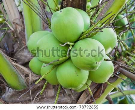 Bunch of green coconut on tree