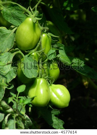 bunch of green fresh tomatoes growing in greenhouse - stock photo