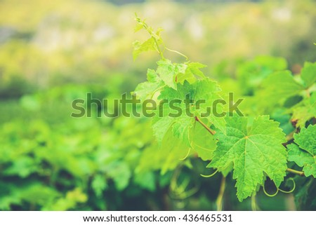 Bunch of green grapes leaves. (Vintage filter effect used) - stock photo