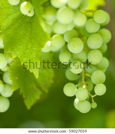 Bunch of green grapes on grapevine in vineyard. - stock photo