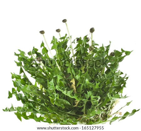 bunch of green leaves dandelions ( taraxacum ) isolated on white background  - stock photo