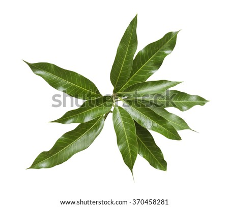 Bunch of green mango leaves on white background. - stock photo