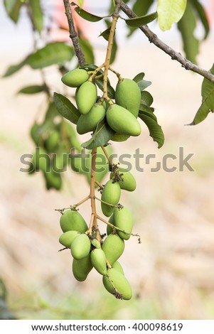 Bunch of green   mango on tree - stock photo