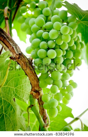 Bunch of green, or table grapes growing on the vine/ Green Grapes on the Vine - stock photo