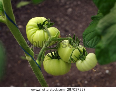 bunch of green tomatoes growing inside a hothouse - stock photo