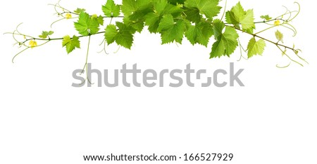 Bunch of green vine leaves and grapes vine - stock photo