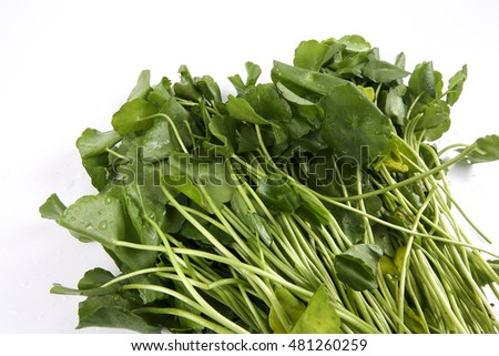 Bunch of healthy round pennywort leaves. Copy space