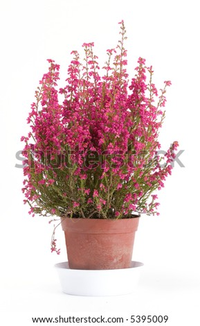 Bunch of heather in vase on white - stock photo