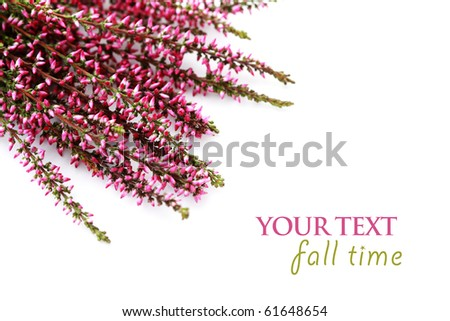bunch of heather on white background - flowers and plants