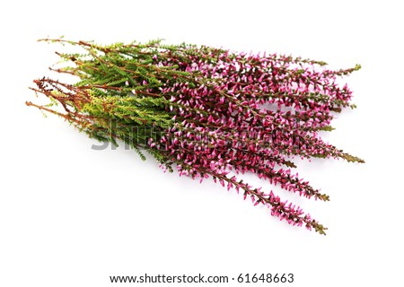 bunch of heather on white background - flowers and plants - stock photo