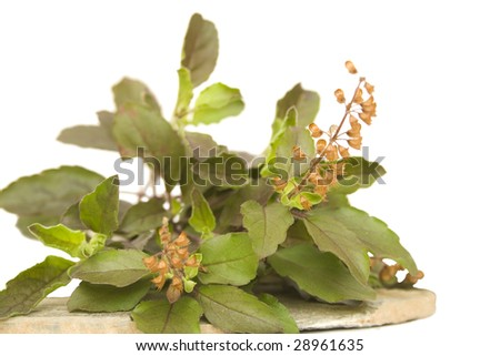 bunch of holy basil tulasi herb on stone plate isolated - stock photo