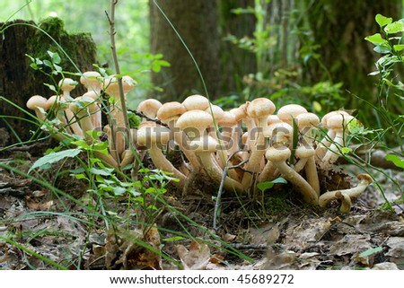bunch of honey agaric mushrooms in forest - stock photo