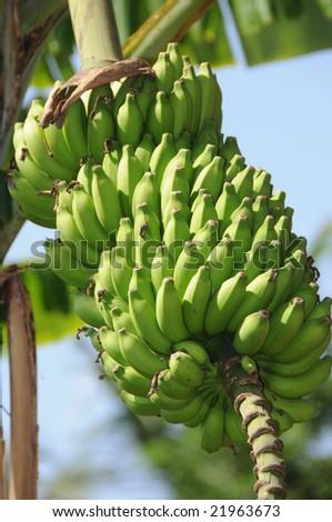 bunch of indian bananas - stock photo