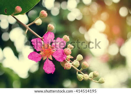 Bunch of Lagerstroemia speciosa flowers. Giant crape-myrtle blossom. Pride of India tree. Inthanin flower in Thailand.