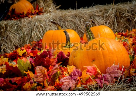 Bunch of large classic looking Thanksgiving orange pumpkins on haystack with some red autumn foliage