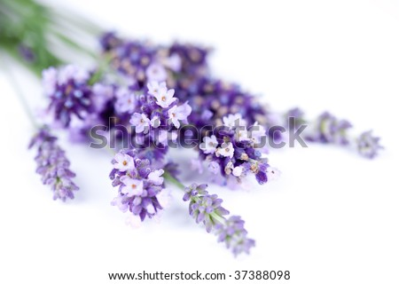 bunch of lavender flower isolated on white - stock photo