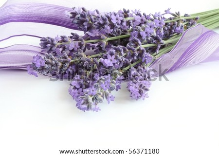 Bunch of Lavender half wrapped in a purple ribbon - stock photo