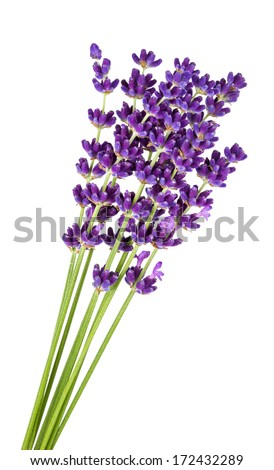 bunch of lavender in front of white background - stock photo