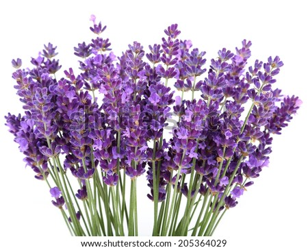 Bunch of lavender on a white background - stock photo