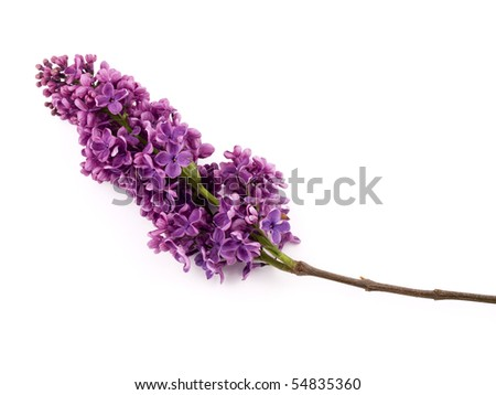 Bunch of lilac on white background. - stock photo
