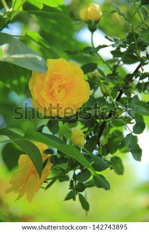 Bunch of lovely yellow roses - flowers and plants - stock photo